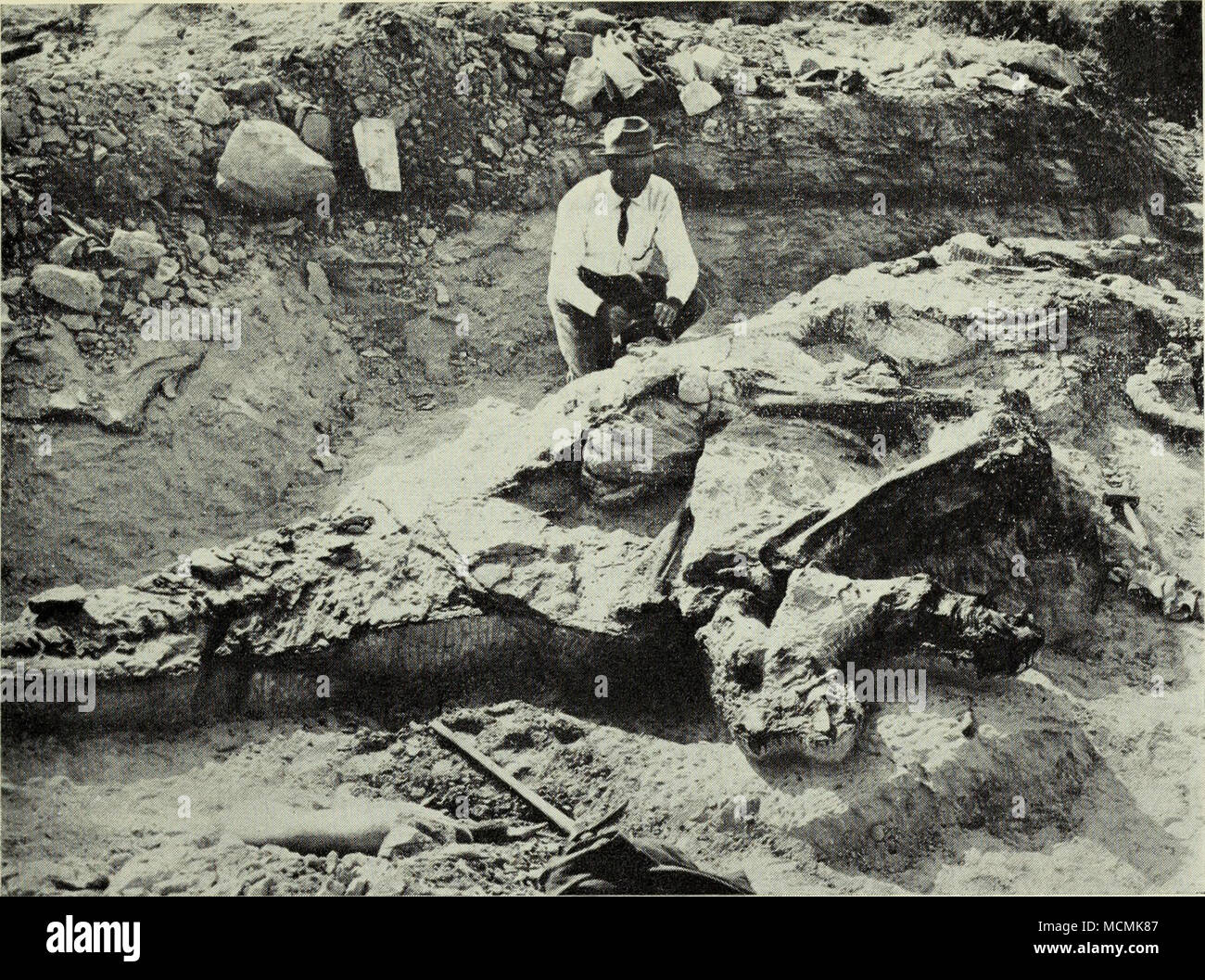 . Dr. Barnuin Brown and the skeleton of a duck-billed dinosaur {type of Corythosaurus casuariusj, Oldman formation, Red Deer River, 1912. A.M.N.H., No. 18552. another new duck-billed dinosaur {Prosaurolophus maximus), the skull of a new horned dinosaur C'Monoclonius'' flexus) and the complete skeleton of another C'Monocionius'' nasicornus), the skull and portion of the skeleton of a small armoured dinosaur, two skeletons of the large flesh- eating dinosaur {Gorgosaurus libratus), and a fine skeleton of the bird- mimic dinosaur {Struthiomimus altus). Some of the dinosaurs obtained from these &q - Stock Image