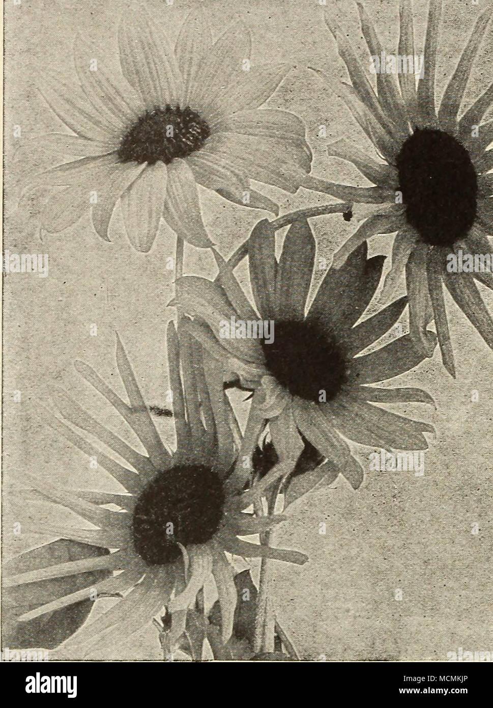 Helianthussunflower Blooming In April Aquilegia Columbine