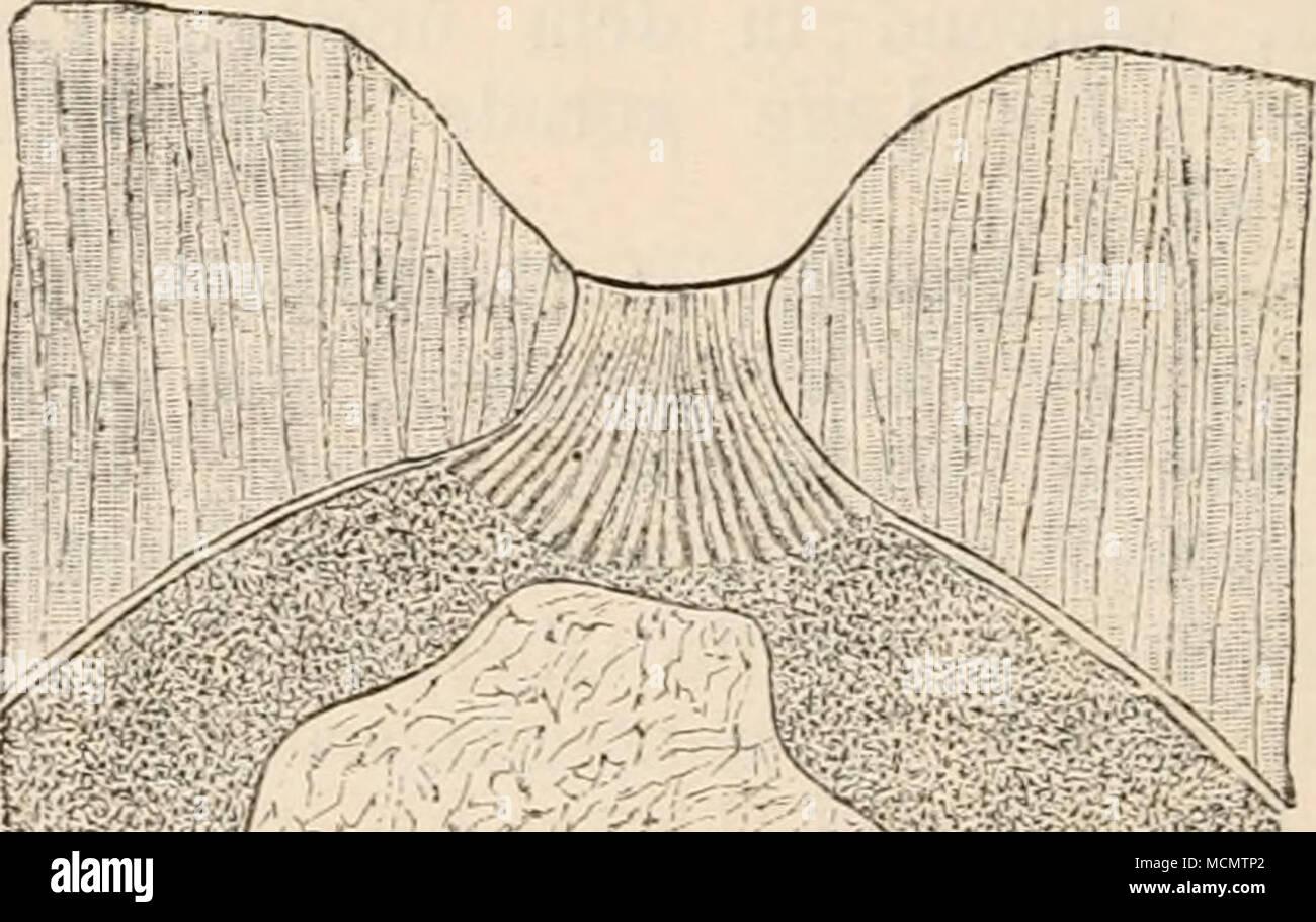 Fig. 164. Junges Ei von Adamsia rondeleti. Vergr. 145. Nach ...