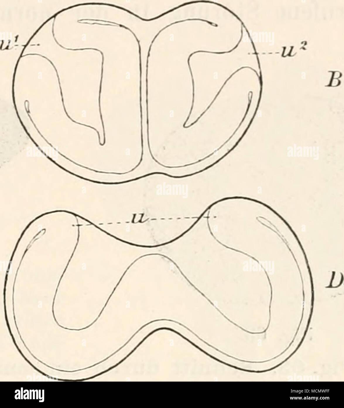. Fig. 62. Vier Doppelgastrulae von Amphioxus [A B CD), entstanden durch Schütteln des Eies auf dem Stadium der Zweitheilung, sieben Stunden nach der Be- fruchtung. Nach Wilson. u^ «2 Nach verschiedenen Richtungen orientirter Urmund der zwei aus je einer Eihälfte entstandenen Gastrulae. u Gemeinsamer Urmund zweier Gastrulae. Aus der Abhandlung von Wilson habe ich in Fig. 62 vier Bei- spiele von Doppelgastrulae zusammengestellt, welche in dieser Weise neben vielen anderen erhalten wurden. Sie zeigen, wie in Folge blosser Verschiebung der beiden ersten Theilhälften au einander aus jeder für sich - Stock Image