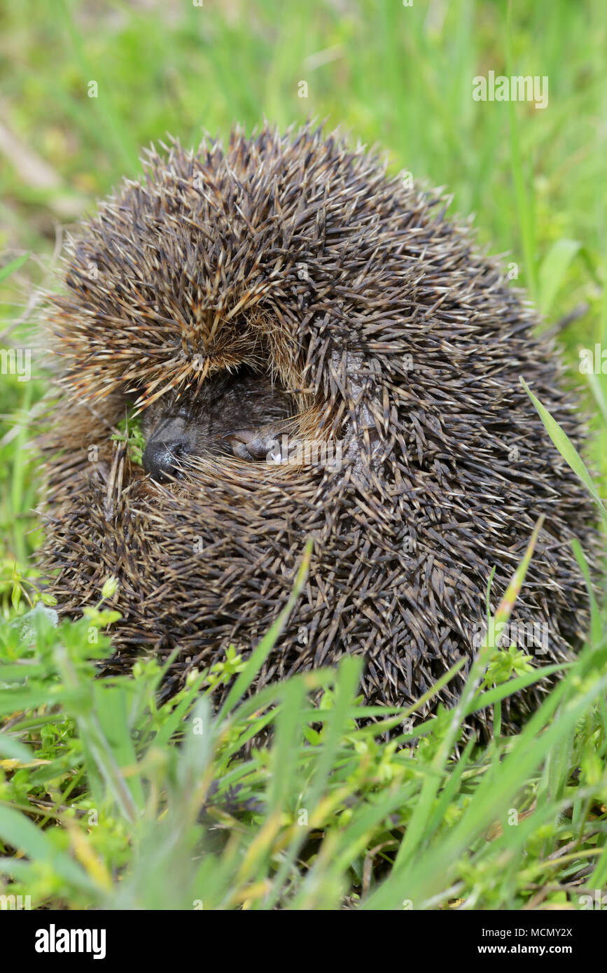 Young european hedgehog in grass - Stock Image