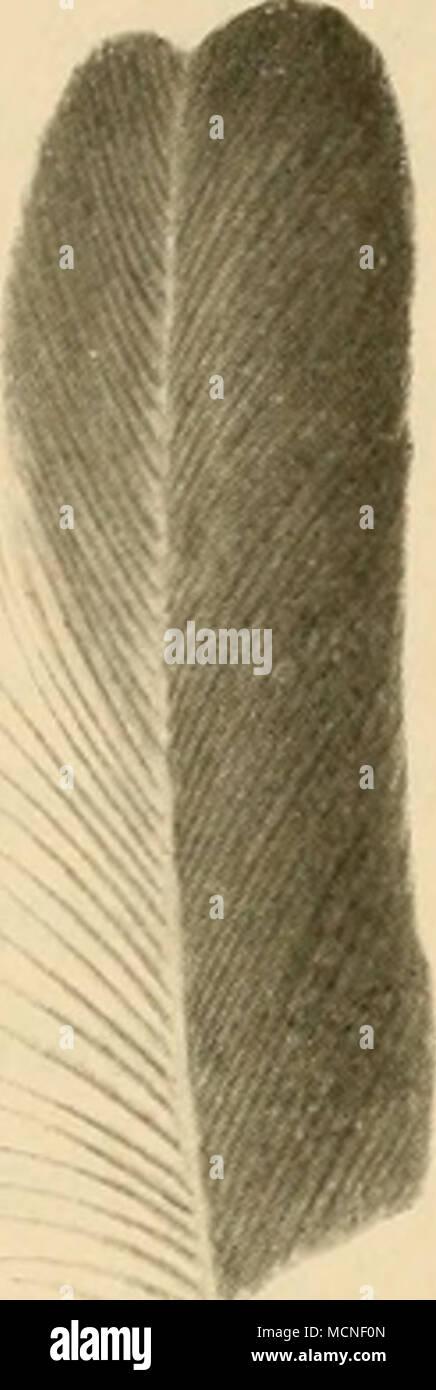. kürzer als Handdecken, zweite und dritte am längsten, Arm schwingen beim alten o^ am Grunde der Aussent'aline mit längeren, zerschlissenen und zurückgehogenen Strahlen, sonst keine auffälligen Federn. Geschlechter verschieden gefärbt. 1 Art. P. spiloj)fera (Yig.) (Fig. 188). Kehle rotbraun, Federn von Kopf und Nacken grau, schwärzlich schuppenartig umsäumt, die des Rückens braun umsäumt, Flügeldecken dunkelbraun, grau umsäumt, Handdecken und Schwingen glänzend schwarz, weisser Flügelspiegel, Unterkörper rost- farben, liauchmitte Aveiss. ? oberseits braun, unterseits weiss und braun gemischt. Stock Photo