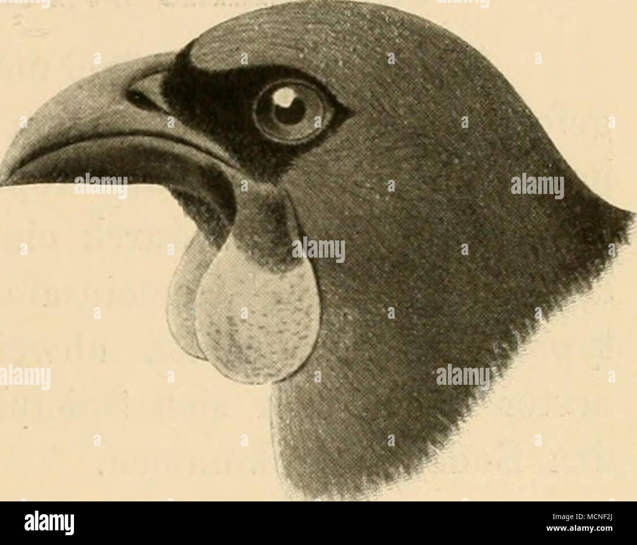 . Fig. 165. ist aber auch noch eine anf Madagaskar vorkonnuende Vogelform, Fal- culia, anzugliedern, die mit Ausnahme des fehlenden »Schnabellappens ganz mit den neuseeländischen Formen übereinstimmt. Man hat die Gattungen Heteralocha^ Creadion und Falcidia auch zu den Staren gestellt; (locli spricht dagegen die Flügelform, insbesondere die Länge der ersten Schwinge. Glaucopis Gm., Lappenkrähe. Kurzer kräftiger, gebogener Schnabel mit abgerundeter Firste, dem von Dendrocitta ähnlich, Dille in ziemlich gerader Linie mit den Unterkieferästen ver- laufend, Hautlappen am Schnabelwinkel; Schwanz st Stock Photo