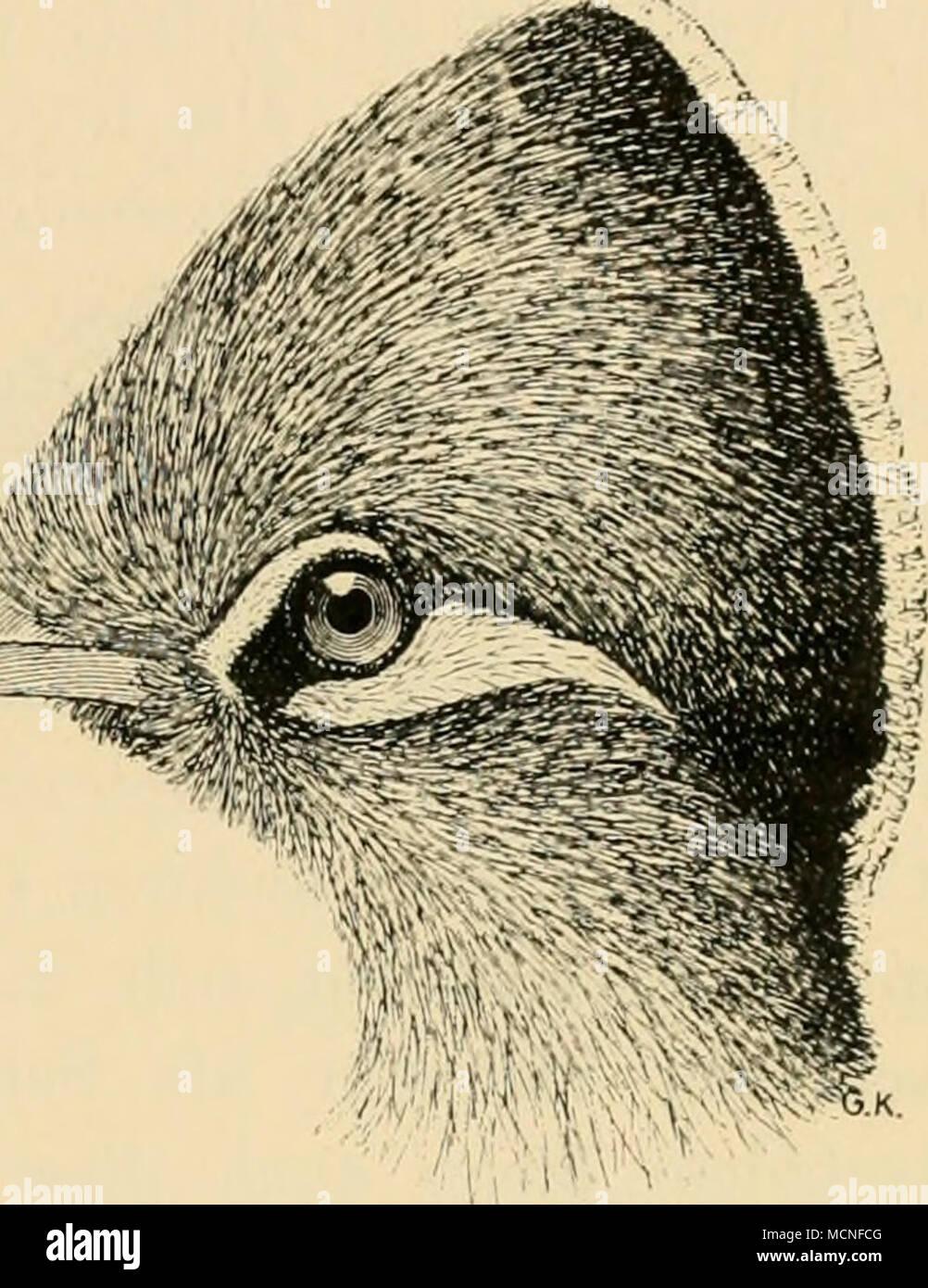 . 65. Familie: Cuculidae. Kuckucke. Vierte Zehe wie die erste rückwärts gerichtet, bald kaum länger als zweite, oft fast so lang wie dritte; die beiden Vorderzehen unver- bunden, an der Wurzel wenig verwachsen oder durch eine kurze Hefthaut verbunden; Schnabel hakig gebogen oder doch an der Spitze mit einem Haken versehen. Schneiden ganzrandig, nicht gezähnelt (Ausnahme Scj- throps), Nasenlöcher bald rundlich, oval oder schlitzförmig und frei in der Schnabeldecke liegend, bald in kurzen Röhrenansätzen, immer näher der Schnabelschneide als der Firste gelegen, was besonders be- - Stock Image