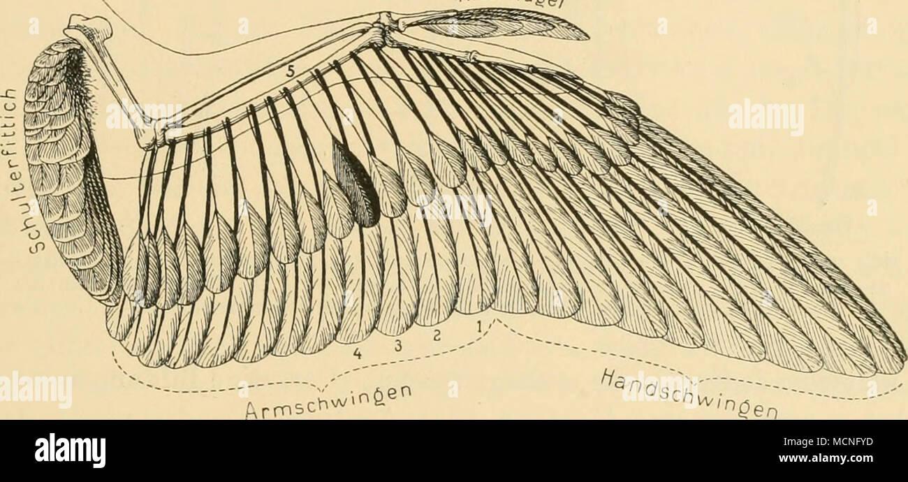 """. 'Arr.sc.w.n&^"""" Fig. 19. weise ist die Embryonal anläge der Armschwingen eutaxisch, bei der weiteren Entwicklung entsteht erst durch Verschiebung der Schwingen- anlagen nach aussen die diastataxische Bildung^). Diastataxisch sind: Natatores, Gressores, Rallidae, Charadriidae, Scolopacidae,Pteroclidae,Megapodiidae,Eaptatores,Psittaci,Caprimulgidae. Eutaxisch sind: Eurypygidae, Gattung Heliornis, Tinamidae, Cra- cidae, Phasianidae, Opisthocomidae, Musophagidae, Cuculidae, Coliidae, Picidae, Coraciidae, Meropidae, Bucerotidae, Trochilidae, Clamatores, Oscines. Teils diastataxisch, teils Stock Photo"""