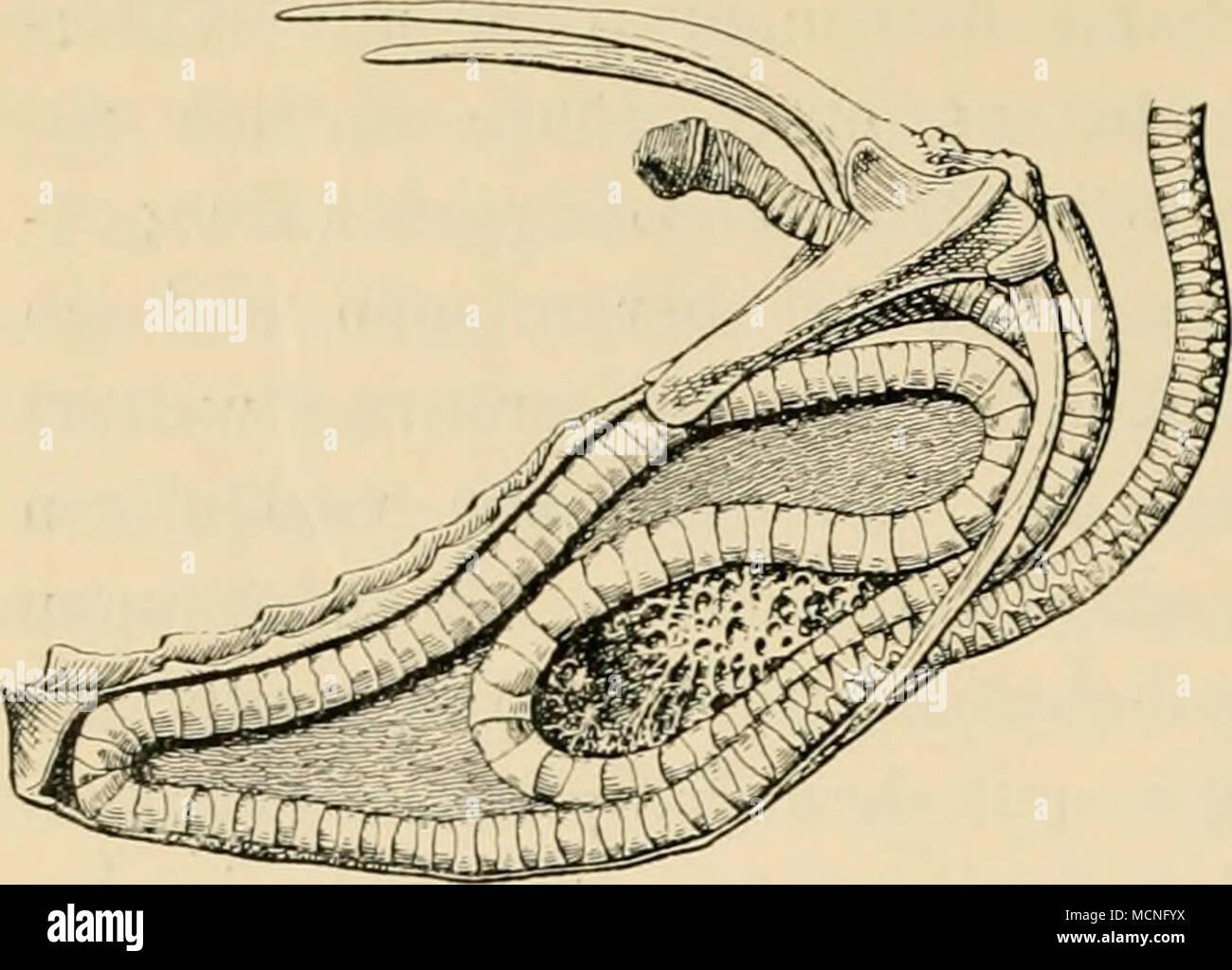 Fig. 12. Lultröhre des Kranichs. liches Stimmorgan ist, da am oberen ...