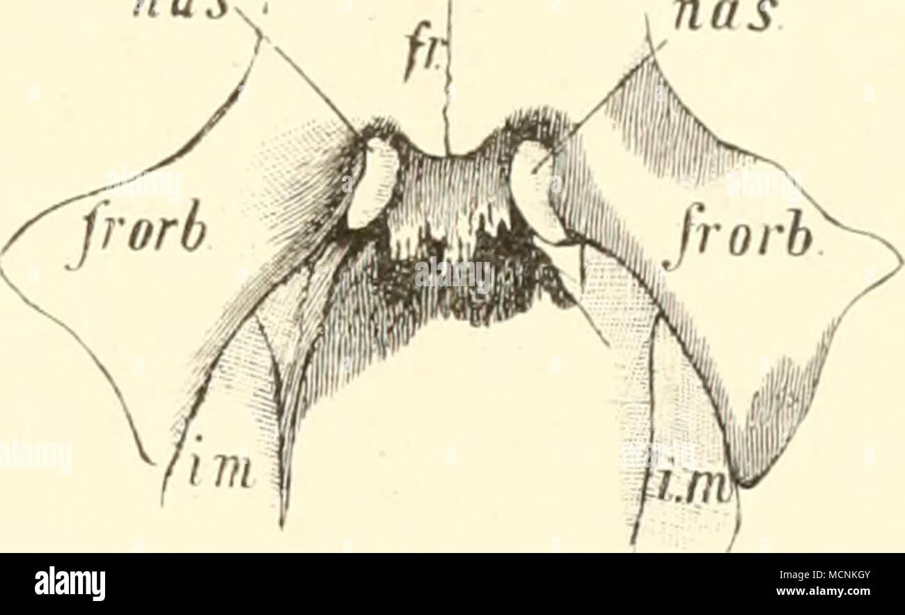 Fig. 523. Nasengegeiid von Halitherium; nach Lepsius. par Parietale ...