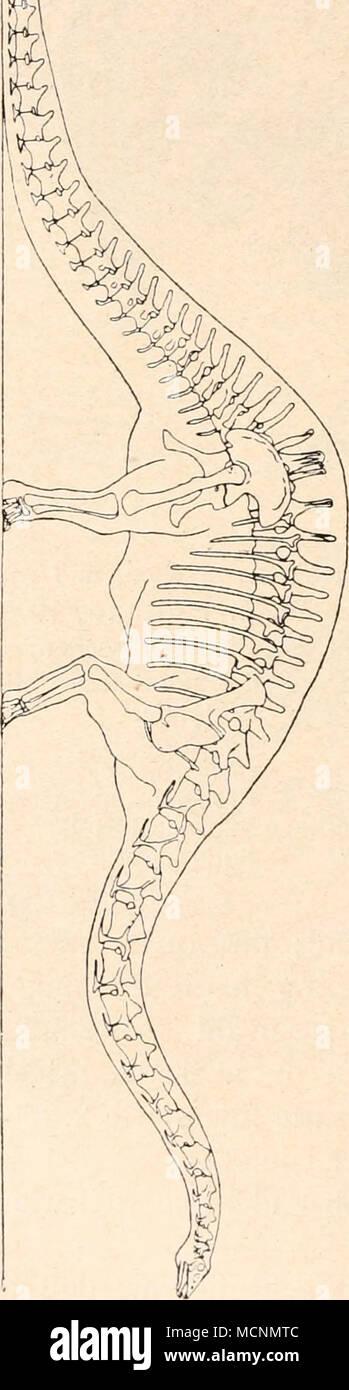 . im Ellbogengelenk stärker gebeugt war, während die Hinterbeine eine mehr säulenartige Stellung besessen haben müssen. Die Sauropoden erscheinen mit Cetiosaurus und Dystrophaeus zu- erst im mittleren Jura von Eng- land und Nordamerika. In den Atlantosaurus Beds (= Como Beds) Nordamerikas (Wyoming, Colorado usw.) sind zahlreiche Skelette und vereinzelte Skeletteile von Sauro- poden gefunden worden. Sie sind aber auch in den Tendaguruschichten Deutsch-Ostafrikas in zum Teile trefflicher Erhaltung entdeckt wor- den (Gigantosaurus, Brachiosaurus usw.), ferner im Wealden Englands, in der Kreid - Stock Image