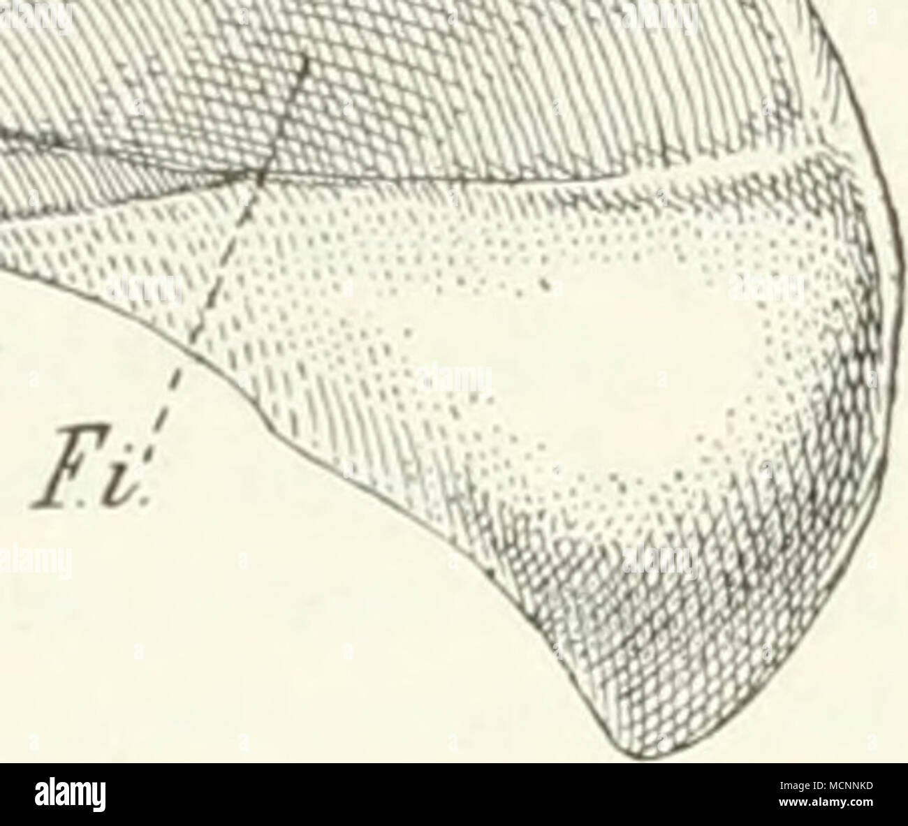 R A Fs Stock Photos Images Alamy Ossa Wiring Diagram Fig573 Tatusia Das Sternum Mit Pr Praesterniim Manuliriuni Pterni