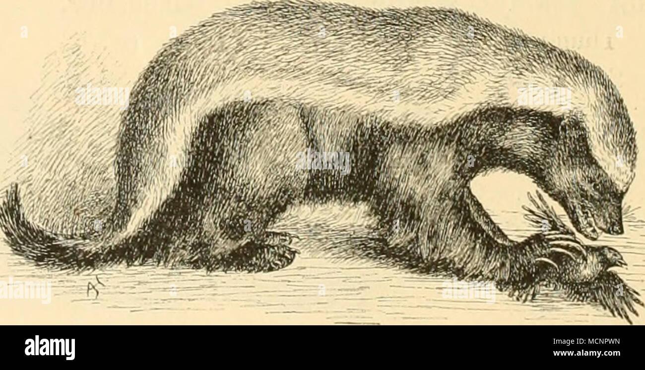 . Flg. 49. Mellivora ratel. 153. Mellivora ratel Sparrm. — Honigdachs. Sparrmann, R. Vetensk. Akad. Handl. 1777, p. 49. L. 85, c. 28 cm. Schwarz; Stirn, Hinterkopf, Nacken, Rücken und Ober- seite der Schwanzwurzel aschgrau, bald heller, bald dunkler. Zuweilen ist der Kopf oben ziemlich weiss. Zwischen der aschgrauen Zeichnung der Oberseite und der dunklen Zeichnung der Unterseite zieht sich ein schmales weisses Band jederseits von der Stirn bis zum Schwanz. - Stock Image