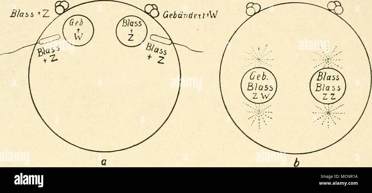 Fig. 90. Schematische Darstellung der Befruchtung eines ...
