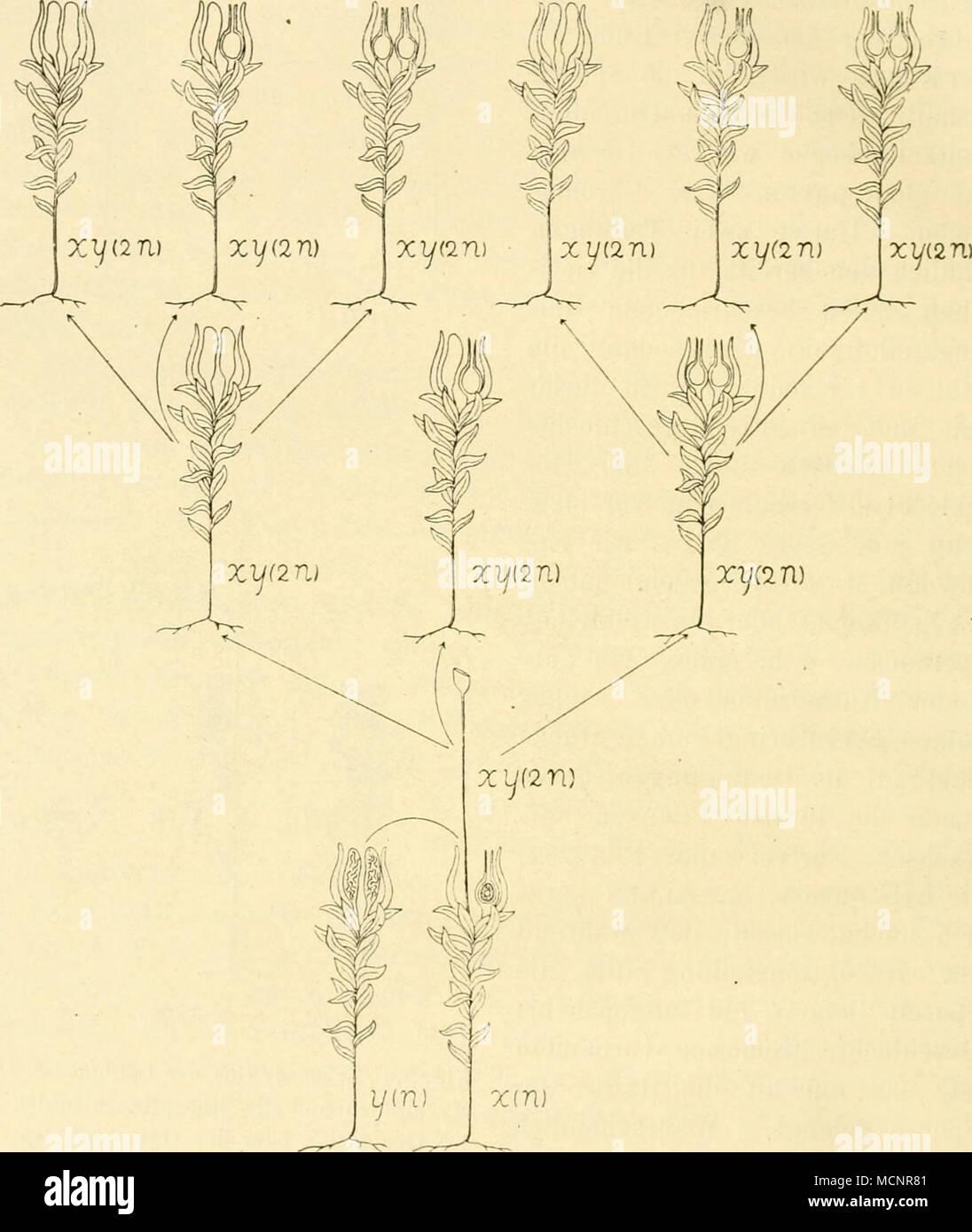 T/in) © XiTl} Fig. 60. Bildung von 2 N-Individuen durch Regeneration ...