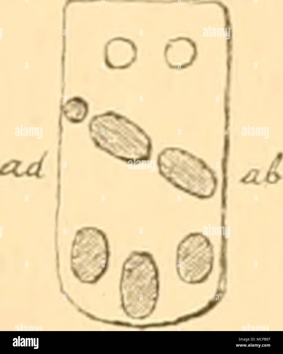 . <U O O o o W Mi '«ä, '1^ ^ rui ®(®0 aurantiacus hiaptnosas attranttacus. in einer einzigen Reihe; obere Randplatteu mit nacktem oder beschupptem Mittelfeld und mit kleinen cylinderformigen Stachelchen auf den Raudzonen; untere Randplatten mit je einem grossen, abgeplatteten Randstachel; Adambulaeralplatten mit je 3 inneren und 2 loder 3) äusseren Furchenstacheln und mit sparsamen, meist nur 2 subambulacralen Stacheln; am su- turalen Rande der Mundeckplatten eine einfache Stachelreilic: Madreporenplatte mit kreis- förmigem Umriss und ohne centralen Körnohenbesatz auf jeder Adambulacralpla - Stock Image