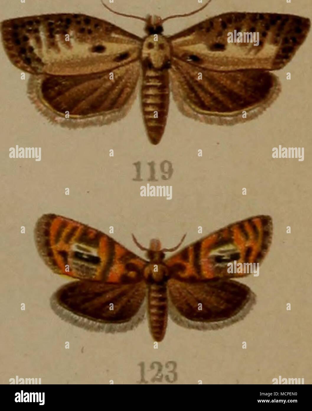 . 87. Acalla emargana v. effractana Froel. — 88. Acalla hastiana L.. — 88a Acalla hastiana ab. combustana Hb. — 89. Acalla niveana F. — 90. Acalla schalleriana F. — 91. Acalla ferrugana Tr. — 92. Acalla holmiana L. - 93. Dichelia gnomana Cl. — 94. Oeaophthim pilleriana Schitt. — 95. Cacoecia piceana L. (f. — 96. Cacoecia piceana J . — 97. Cacoecia podana Sc. er- — 98. Cacoecia xylosteana Jj. (f. — 99. Cacoecia xylosteana J . — 100. Cacoecia rosana L. (/• — 101. Cacoecia rosana $ . — 102. Cacoecia sorbiana Hb. $ . — 103. Cacoecia histrionana Froel. — 104. Cacoecia murinana Hb. — 105. Pandemis c - Stock Image