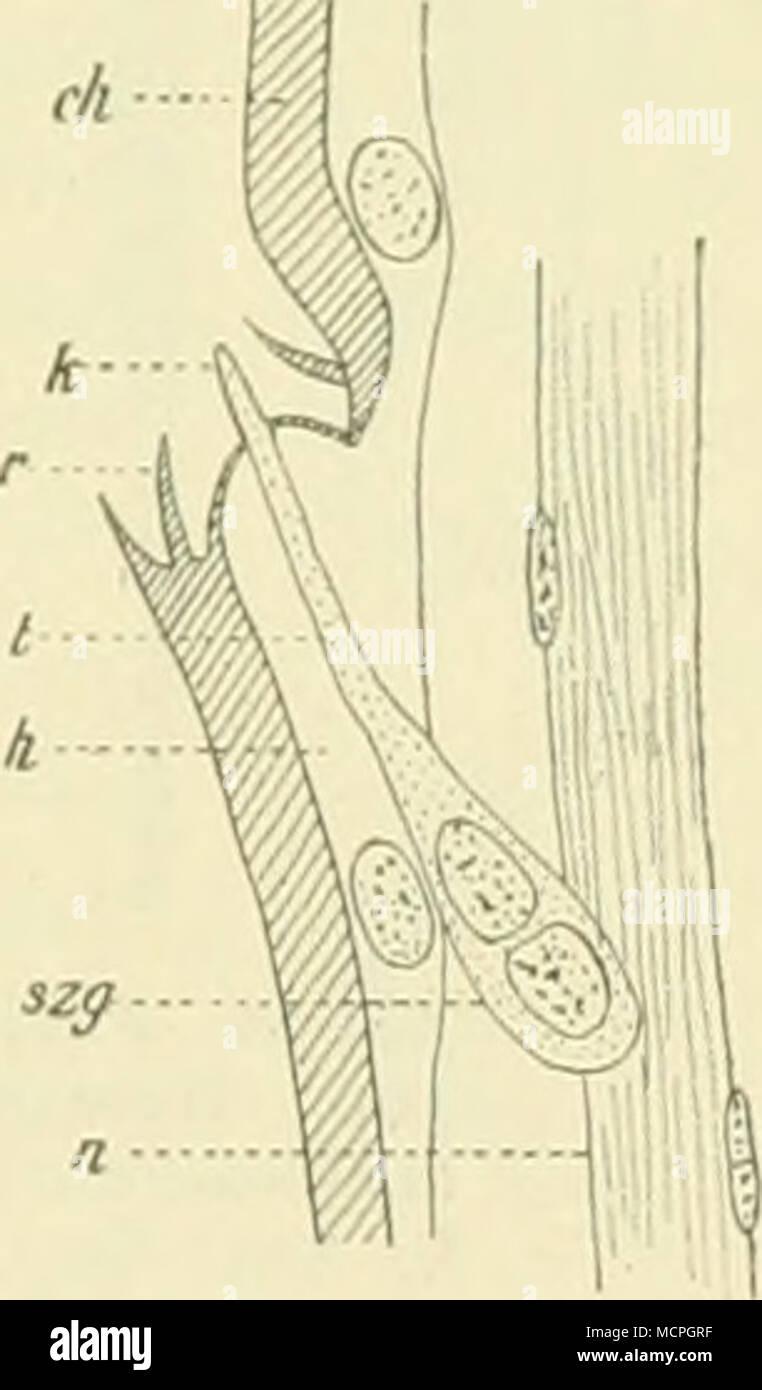 """. Fig. 49. Spitze einer Fiedep des männl. Fühlers von Orgr. antiqua L ; fast ^w)/, u^t. Gr. k Grubeu- kegel; s^/Endzapfenträger; *? Endzapfen; A'Sinues- liorste; tr Sinneshaar. Verkl. nach 0 Schenk. Fig. 50. Längsschnitt durch einen Gruben- kegel des Fühlers von B. piniarius L.; """"*'/in. Gr. rh Chitin; U Epi- dermis ; )• Borste des Borstenkranzes ; t Endkegel des Sinnes- organs ; szg Sinnes- zellengruppe ; H Nerv. — Nach 0. Schenk. *) O. Seh., Die antennalen Hautsinnesorgane einiger Lepidopteren und Hymenopteren, in: Zool. Jahrb. Anat. Abt. Bd. 17, H. 3, p. 573 - 618, Tat. 21 u. 22, 1903. Stock Photo"""