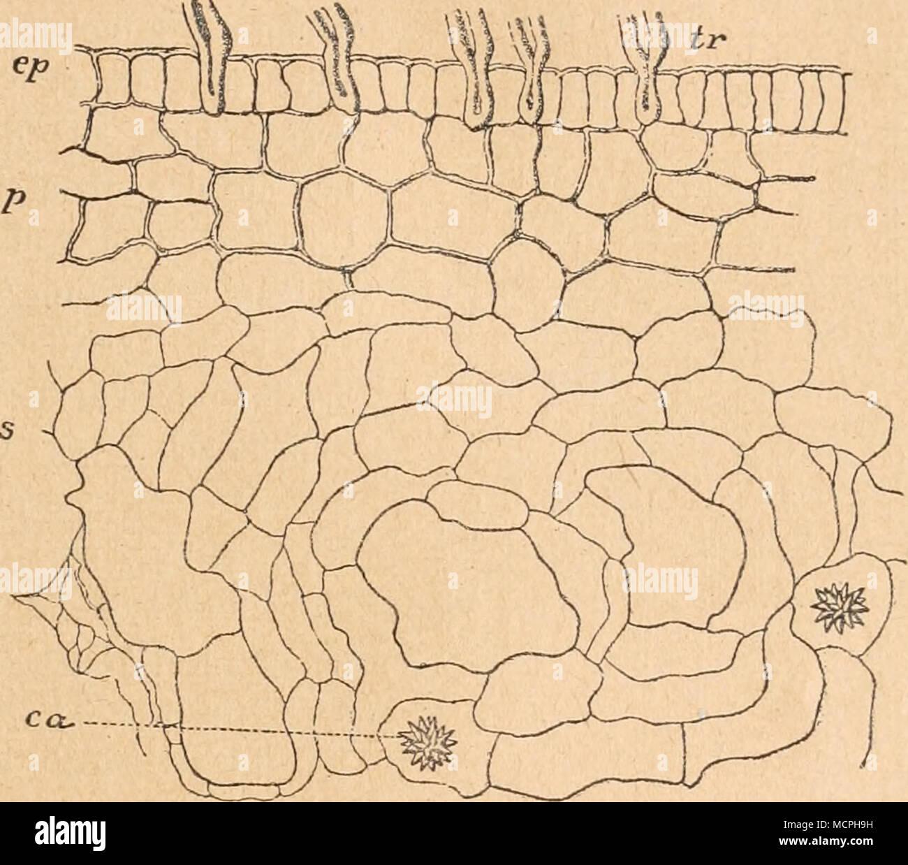 Reife Knochenzellen werden bezeichnet