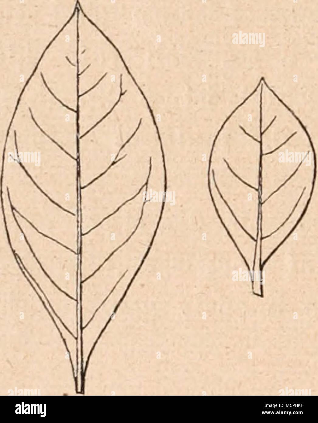 Fig. 205. Lawsonia inermis L. Blätter in Ägypten kultivierter ...
