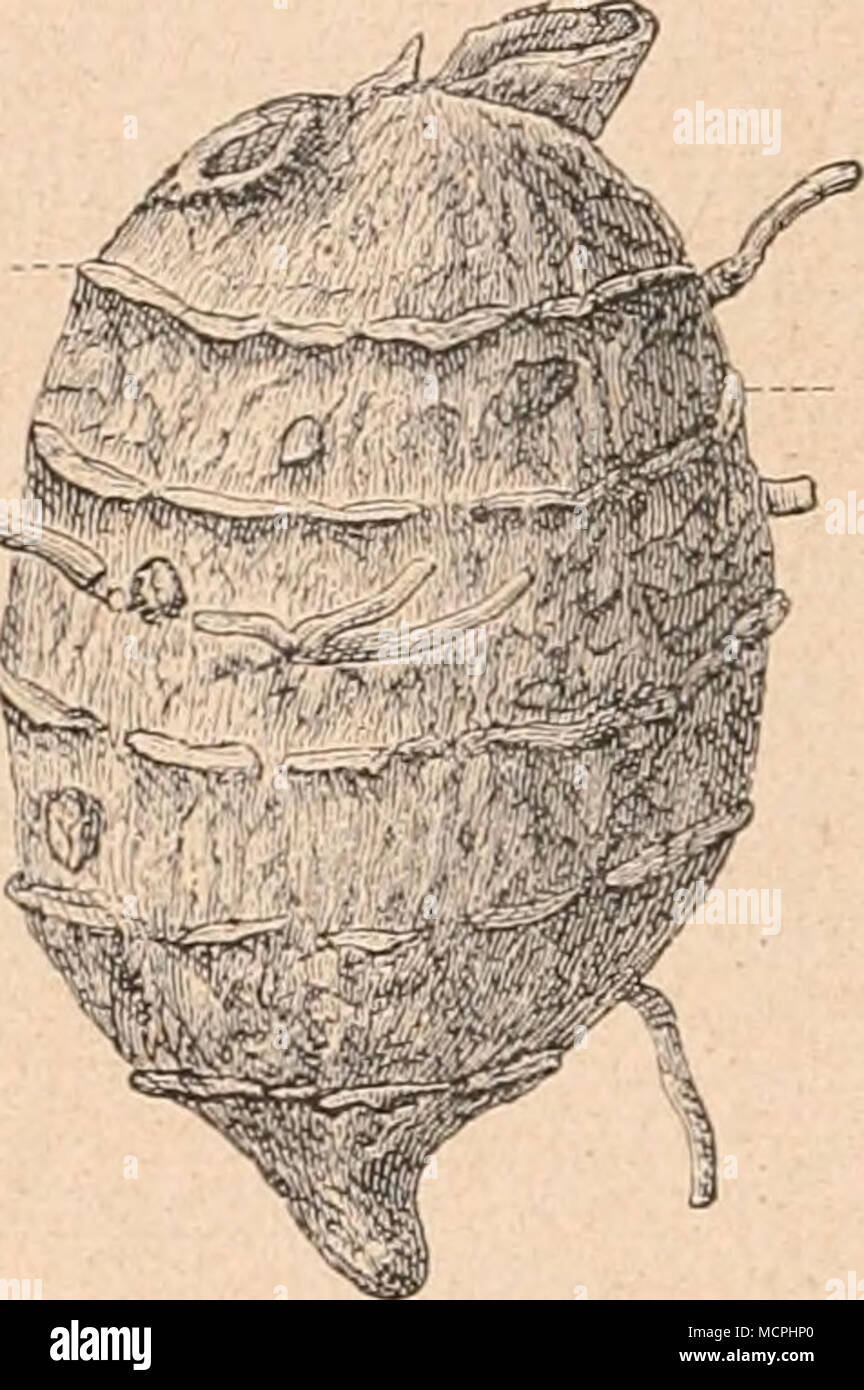 . messers) ist durch eine hellgelbe, scharf gezeichnete Kreislinie (Endo- dermis) vom Kern getrennt. Die selten vorhandene Oberhaut aus polygonalen Zellen trägt mit- unter Spaltöffnungen und stellenweise ziemlich reichlich einzellige, 120 bis 600 ,u lange, dickwandige Haare. An Stelle der meist abgestoßenen Ober- haut findet sich eine ver- schieden starke, zartzellige Korkschicht(Fig. 153,154). Das Grundgewebe der Droge (Fig. 153) ist groß- zellig (45—150 .«); die gelbwandigen Parenchym- zellen sind gefüllt mit Stärke, größtenteils in Form gelber Kleisterballen, die leicht aus den zerris- sene Stock Photo