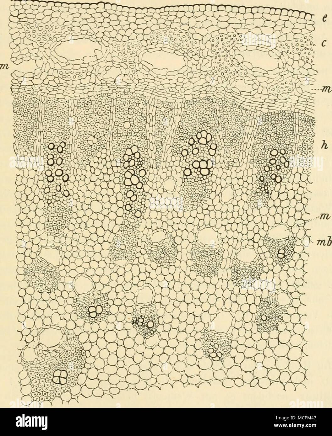 Fig. 52. Querschnitt duicli die Eandpartie eines Stengels von Ferula ...