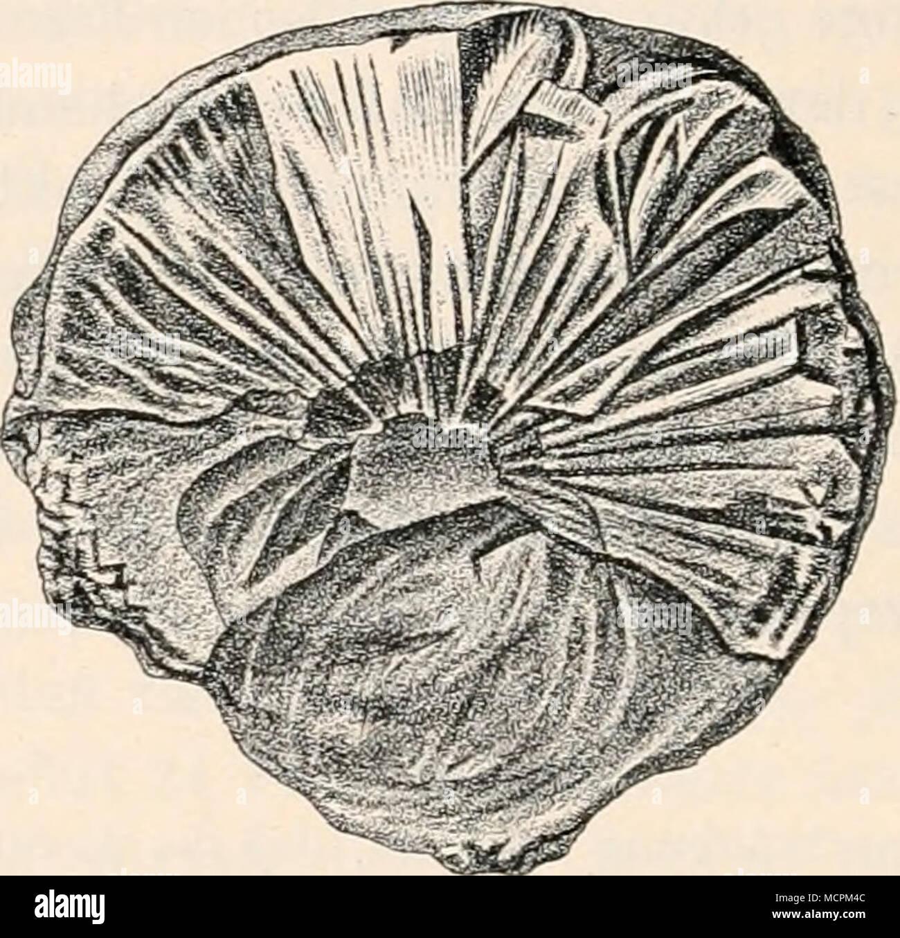 . Fig. 10. Vergrößerung 2 mal. Bruchfläche eines Gummistückes einer Sorte von Somaligummi mit strahligem Gefüge. (Aus der Sammlung des bot. Museums in Berlin.) in dem Paragraphen: Geschichtliches über das arabische Gummi) und wird auch gegenwärtig in großen Quantitäten gesammelt. Die Gummi- gewinnung wird im Somalilande durch Anschnitt unterstützt und soll unterhalb der Schnittwunde eine Bastbinde angelegt werden, an welcher 1) Im Somalilande, wo die verschiedensten Gummi und Gummiharze gekaut werden, unterscheiden die Bewohner nur süßes und bitteres Gummi; zu dem ersteren zählen arabisches Gu - Stock Image