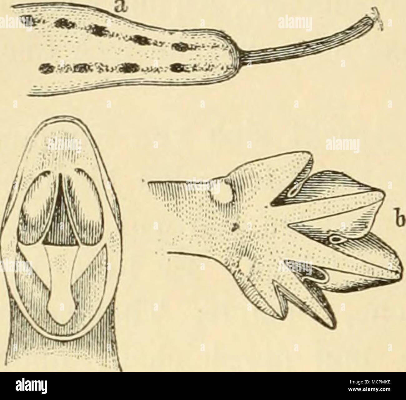 . Leisten molch (Triton helveticus, Razoum.J. IN a c h Schreiber.) Gaumenzähne, Schwanzspitze (a) und Hinter- fuss (b) des Männchens zur Paarungszeit. stehen in zwei nach hinten zu stark auseinandergehenden Längs- reihen (Abb. 46). Jederseits des Rückens findet sich eine kantig- hervortretende leistenartige Längslinie. Das Schwanzende ist gerundet, abgestutzt, mitunter herzförmig ausgeschnitten, mit einem fadenartigen Anhang (Abb. 46 a) versehen, der bald kürzer, bald länger ist und bald gerade, bald nach oben gekrümmt erscheint; dieser Anhang ist beim Männchen gewöhnlich länger als beim Weib- - Stock Image