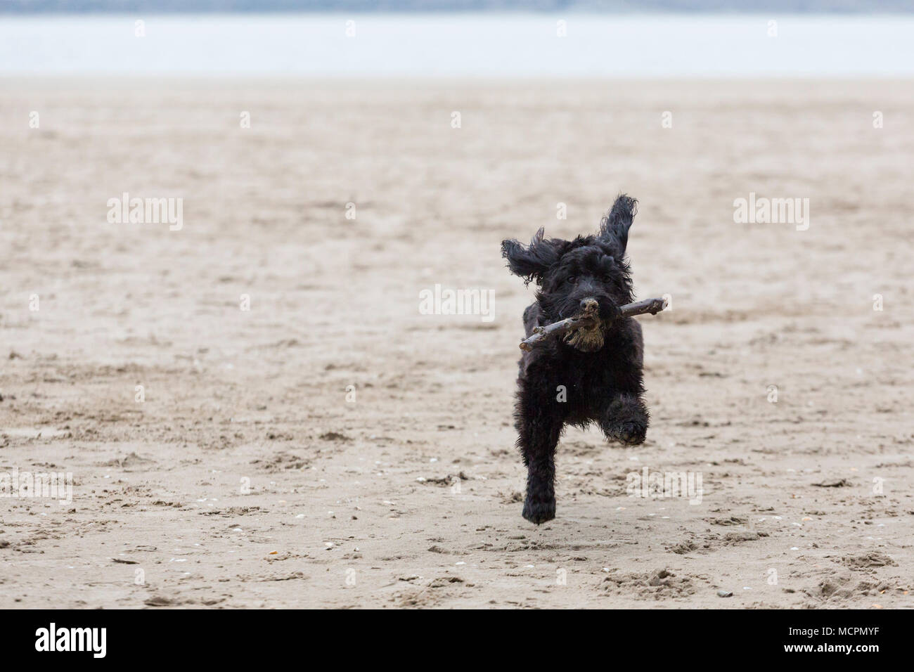 Black cockapoo dog runs on beach with stick in mouth - Stock Image