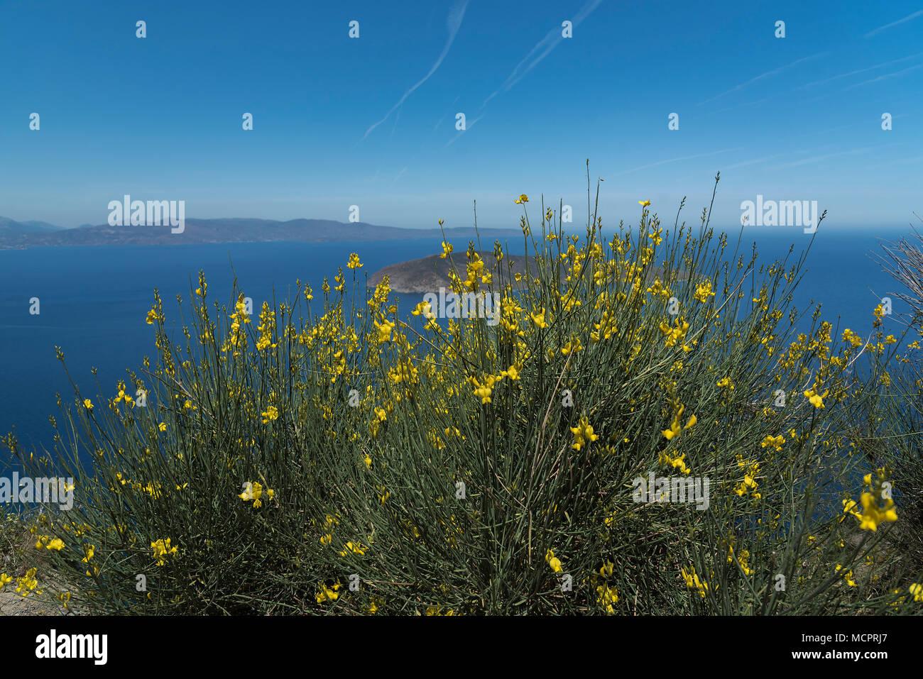 Ein geln blühender Ginsterstrauch an der Norostküste Kretas mit Blick auf eine Insel im Mittelmeer - Stock Image