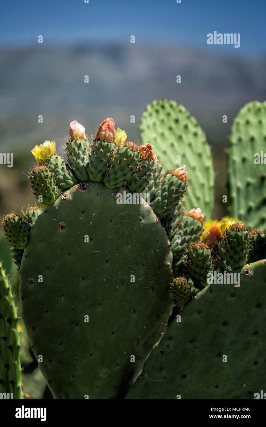 Blühende Kaktusfeige im Nordosten von Kreta - Stock Image