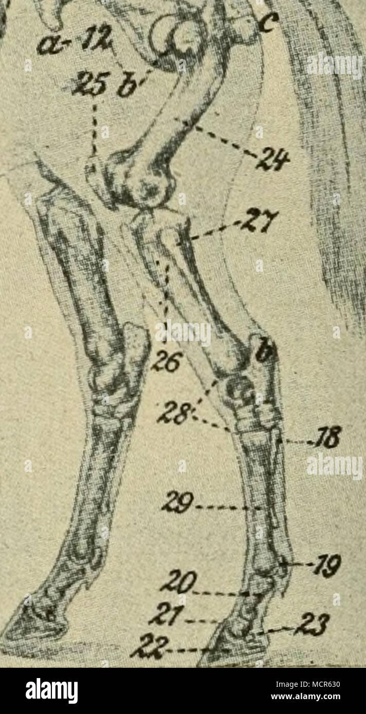 Knochengerüst Stock Photos & Knochengerüst Stock Images - Alamy