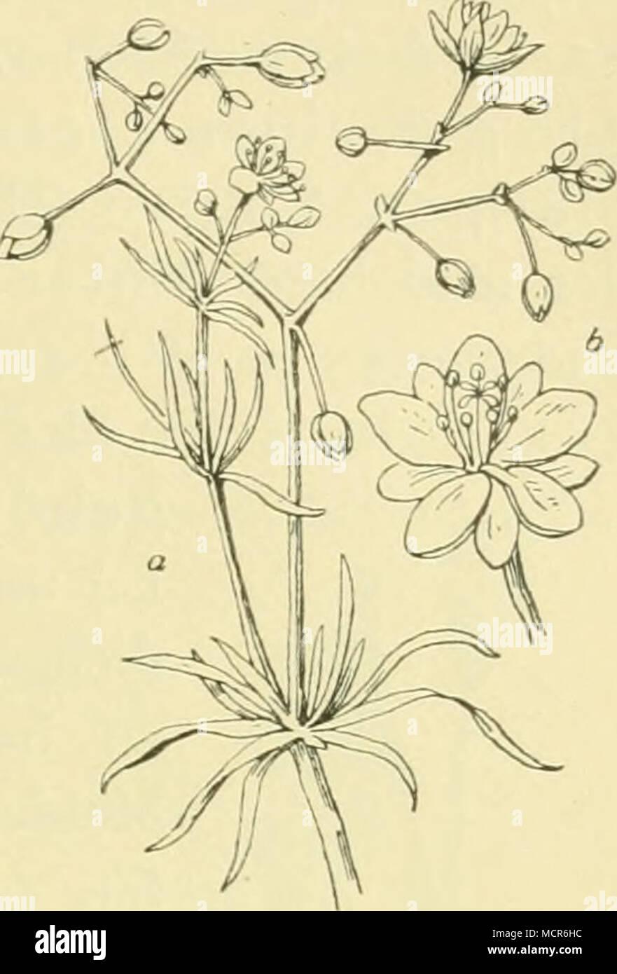 . früchtiges Steinkraut, A. calycinum L. und A. tortosum W Kit), das gemeine, behaarte und graue Bruchkraut oder Tausendkorn (Herniaria glabra L. — H. hirsuta L. — H. incana Lam.), nieder- liegende, stark verzweigte Kräutchen mit kleinen, grünen, kornähnlichen Blütchen (Fig. 20), die in Gemeinschaft mit den obengenannten Alyssumarten den dür- ren Boden wie mit einem Teppich über- ziehen, — vielfach auch struppige und dürftige Exemplare der russischen Feld- und stinkenden Hunds-Ka- mille (Anthemis ruthenica M B. — A. arvensis L. — A. Cotula L.) und des echten,piemontesischenundfrühen Labkrautes - Stock Image