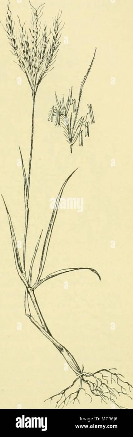 Bart erba Prairie Blues-Andropogon gerardii