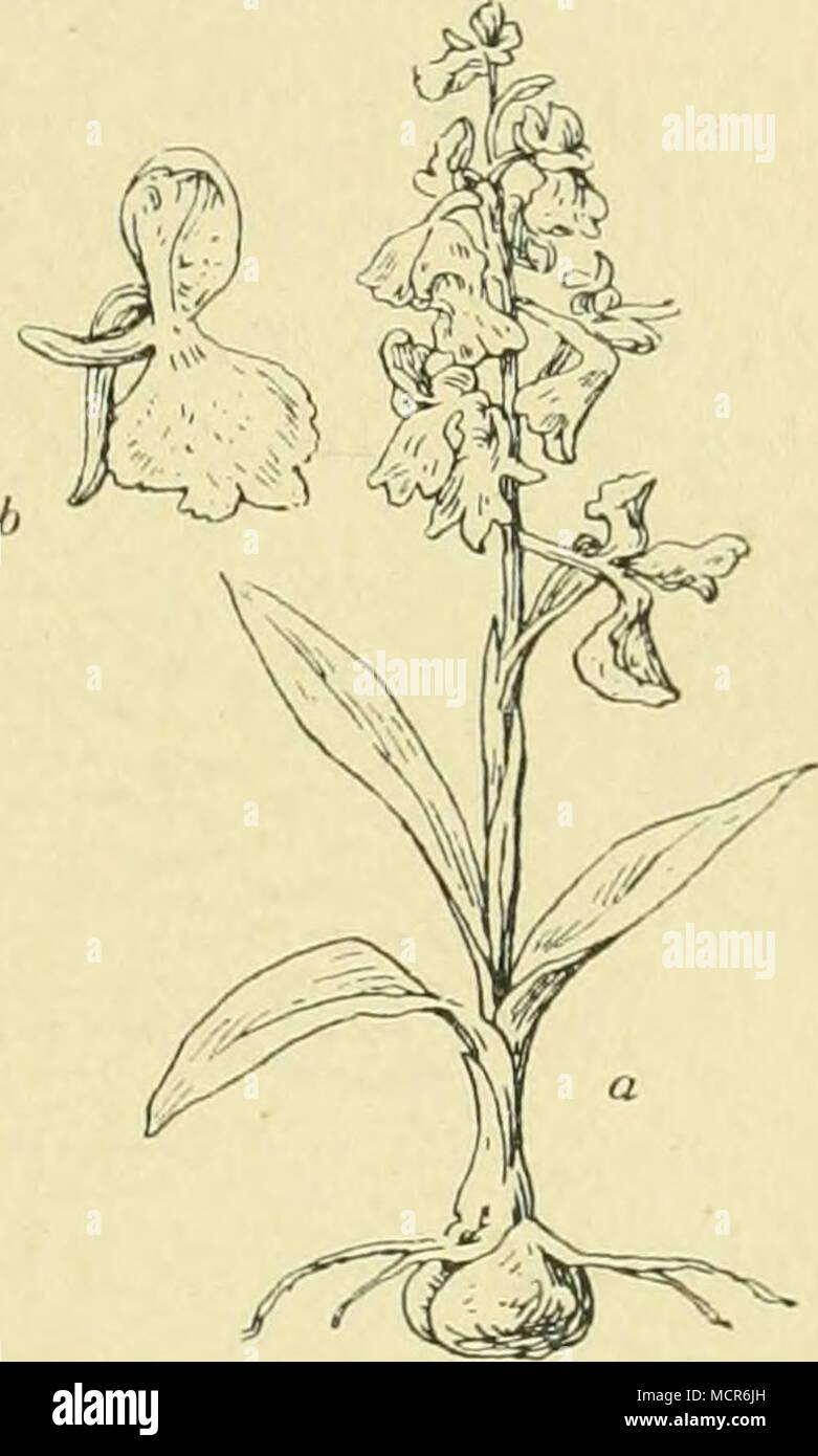 . Fig. 5. Gemeines Knaben- liraut (Orchis morio L.). a. vollständige Pflanze, verkleinert, b. einzelne Blüte, verkleinert. 21 - Stock Image