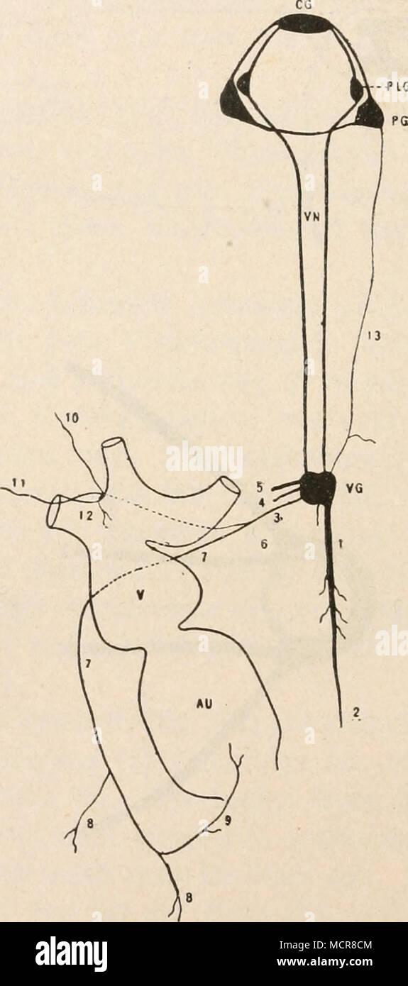 Erfreut Das Nervensystem Ideen - Physiologie Von Menschlichen ...