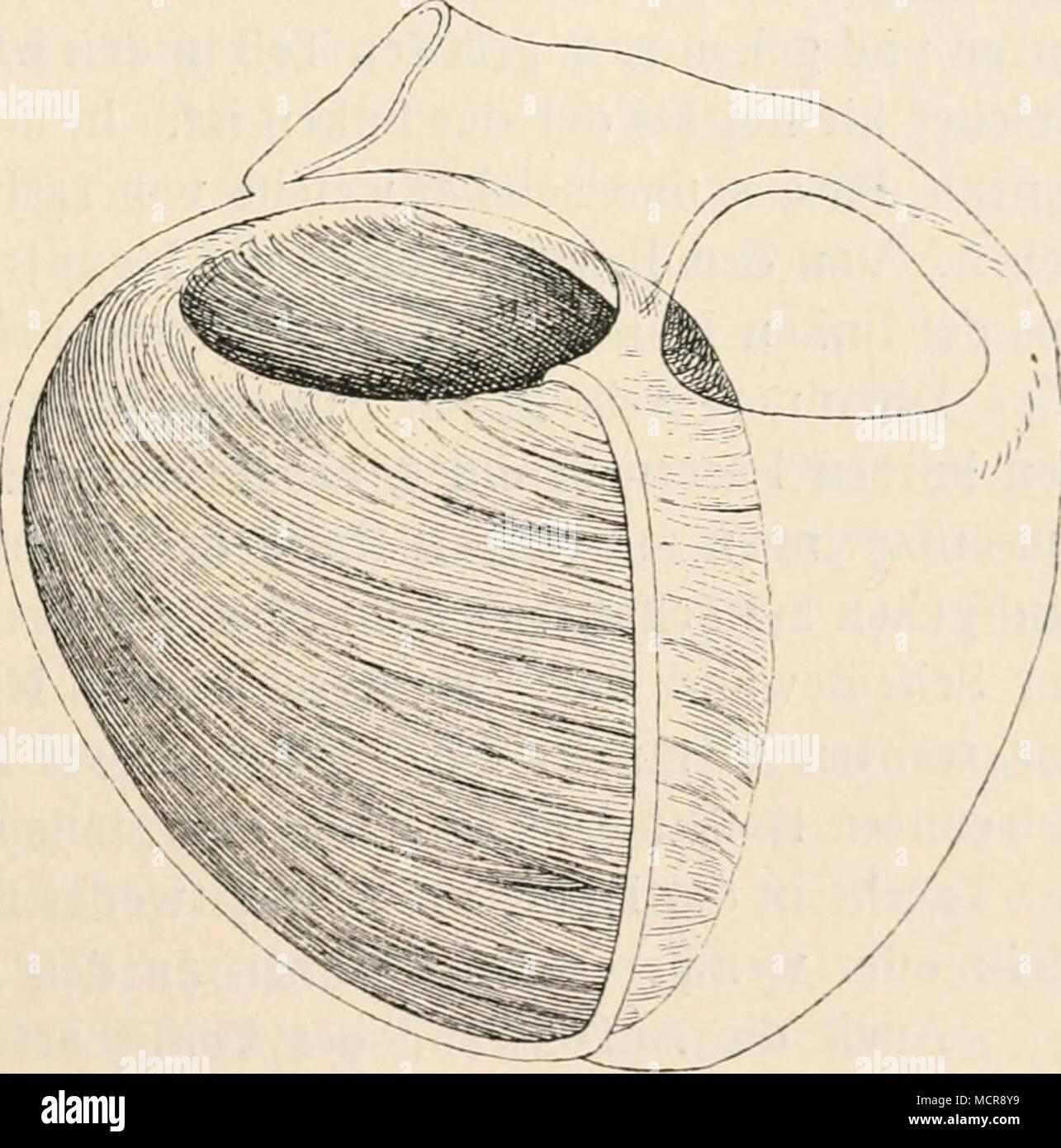 Fig. 54. Die mittlere Muskellage der linken Herz- kammer. Nach Krehl ...