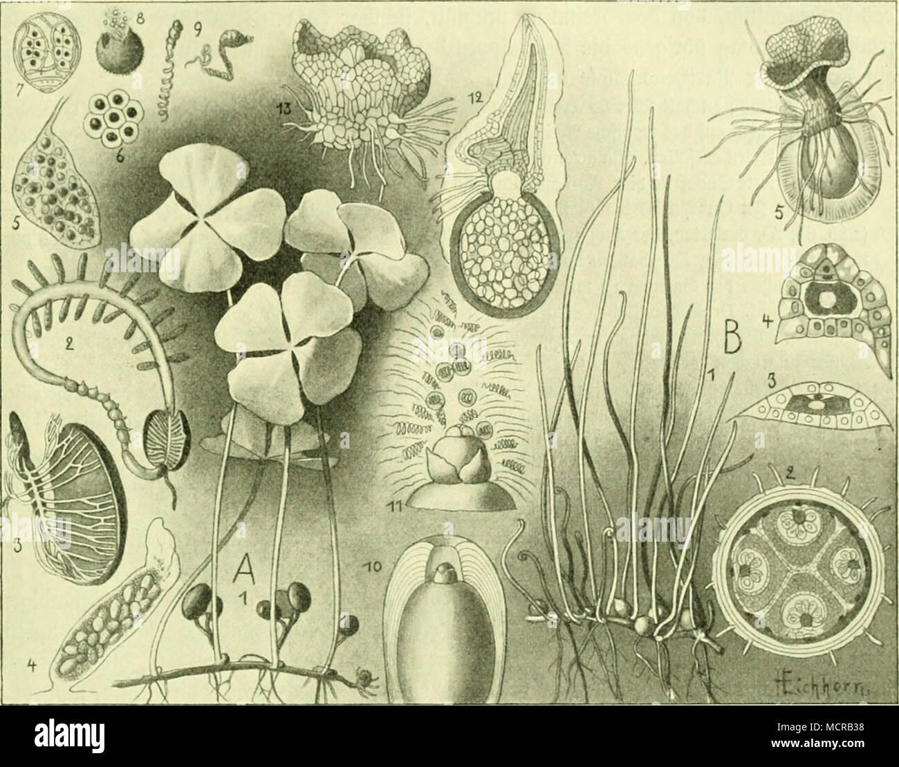 ". S(b6. 64: ^illcnfrut^tfaruc CMarsiliaceae). A)AIarsilia quadiifolia: 1) §a- fittuä; 2) aufgeiprungeneä Spovolarp mit bem bie Spo- rongienfdjläuc^e tracjenbeii ^piajentariiig, oergröpert; 3) cnticertcä epoiotavp, um bie Oefttpbunbeloeräuieigung ju jeigen; 4) epovangien? fc^taud) tiüt (Ijcllen) Watros fporangicu unb (bunfteii) aJUfrofporaugien; 5) 2)li£ro= fpoiaiigiuiii; ö) a)tifro[poi-eii; 7) aUh-cfpore im 2;iivcf;[d;uitt mit 5J>voti)aUium unb äiuci Stnt^eribtcn; 8) ©ntteerung ber Spermntoäoiibeu aus ber ÜJUfrofporc; 9) Speniiatos joTbeii; 10) SDfafcofporo mit -^.""apiUe unb ^ecfid)id; Stock Photo"
