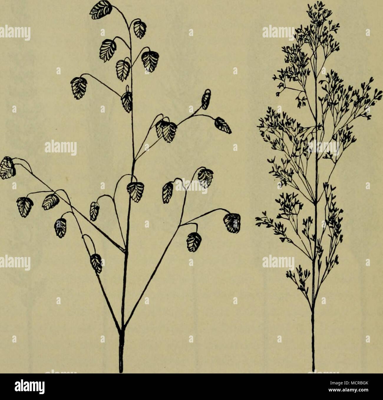 . Fig. 6i. Briza media. Zittergras. (Aus Schmeil.) Fig. 62. Agrostis vulgaris, Fiorin-, Straußgras. (Aus_^Schmeil.) Sauergräser Cyperaceen, finden sich nur verhältnismäßig wenig hier, hin und wieder Scirpus holoschoenus, die Seggen Carex muricata, C. leporina (Hasenfuß), C. Hornschuchiana, C. caespitosa, C. Gooden- oughii (C. vulgaris), C. tomentosa, C. glauca, C. distans, C. hirta etc. Dazu gesellen sich einige Binsen, so Juncus glaucus, J. tenuis und J. compressus meist auf Wegen. Von ansehnlichen und bemerkens- werten Arten anderer Familien wären dann aufzuführen eine Simse Luzula Sudetica, - Stock Image