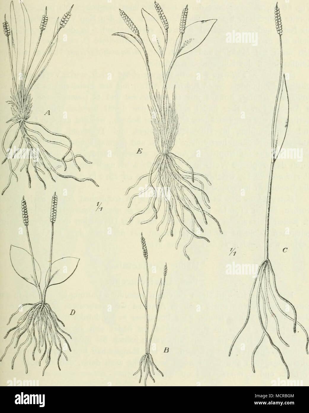 . Fig. 67. A Ophioglossnm Bergianum Schlechtdl.; B O. graminenm Willd.; C O. lusoafricanum Wehv.; D O. Gomezianum Welw.; E O. capense Sw. emend. linealer bis lineal-lanzettlicher, steriler Spreite, und das größere 0. lusoafricanuvi Wehv. (Fig. 67 6^) in Angola (Pungo Andongo); 0. lusitanicum L. erstreckt sich von Westeuropa und dem Mittelmeergebiete bis zu den Kanaren; eine Stock Photo