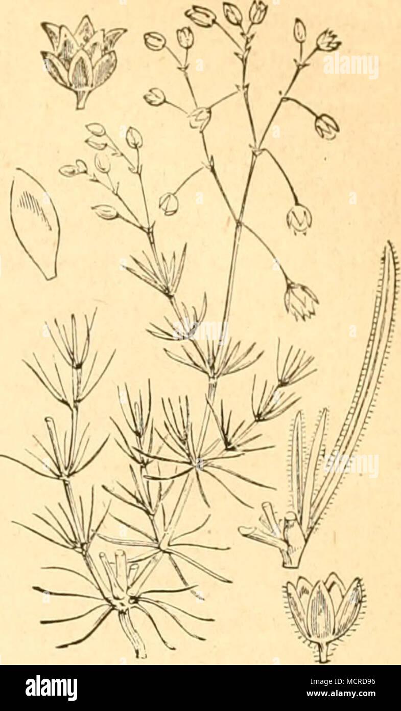 . 16. Gattung. Nagelkraut. Polycarpon. Spergula arvensis. XII. Familie. Portulakgewächse. Portulaeeae. 1. Gattung. Montie, Quellenkraut. Montia. 2. Gattung. Portulak. Portulacca. XIIL Familie. Tännelgewächse, Elatinaceae. 1. Gattung. Tännel. Elatine. XIV. Familie. Tamariskengewächse. Tamaricineae. 1. Gattung. Tamariske. Tamarix. a. Käfer. 1. Stylosomus Tamaricis, Suff. Dieser kleine Blattkäfer wui'de von Frauenfeld auf der Tamariske gefunden, ohne jedoch dessen frühere Stände zu entdecken. - Stock Image