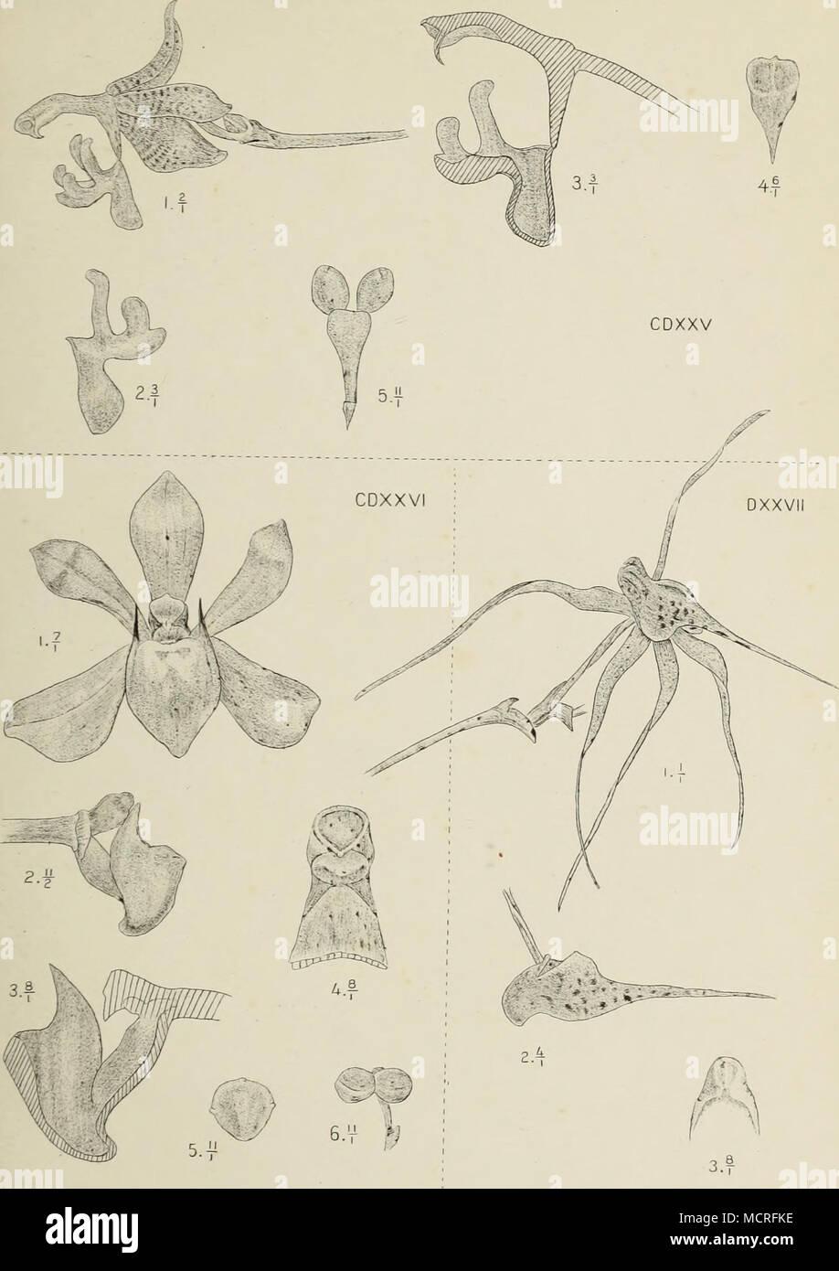 . J.J.Smith del. M Kromohardjo litb. cdxxv. Sarcochilus appendiculatus J.J.S. cdxxv/. Bogoria Raciborskü J.J.S. cdxxv//. Thrixspermum ncuminatissimiim Bchh.f. - Stock Image