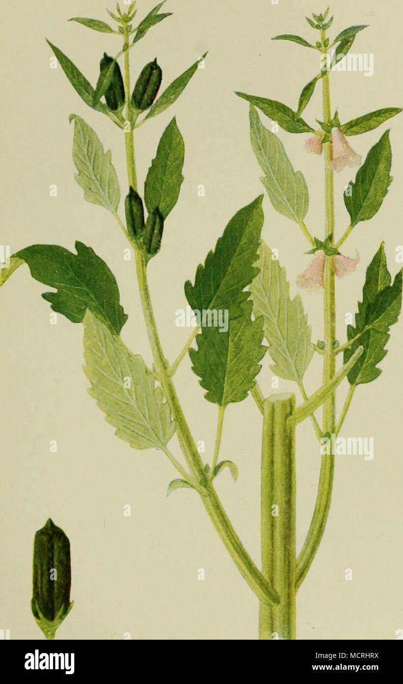 Top Sesam (Sesamum indicum). a) Teil einer Pflanze. b) Frucht. FÖRSTER @IL_21