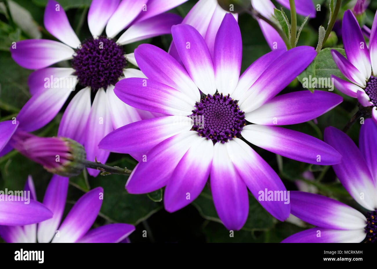 colourful senetti flowers in bloom - Stock Image