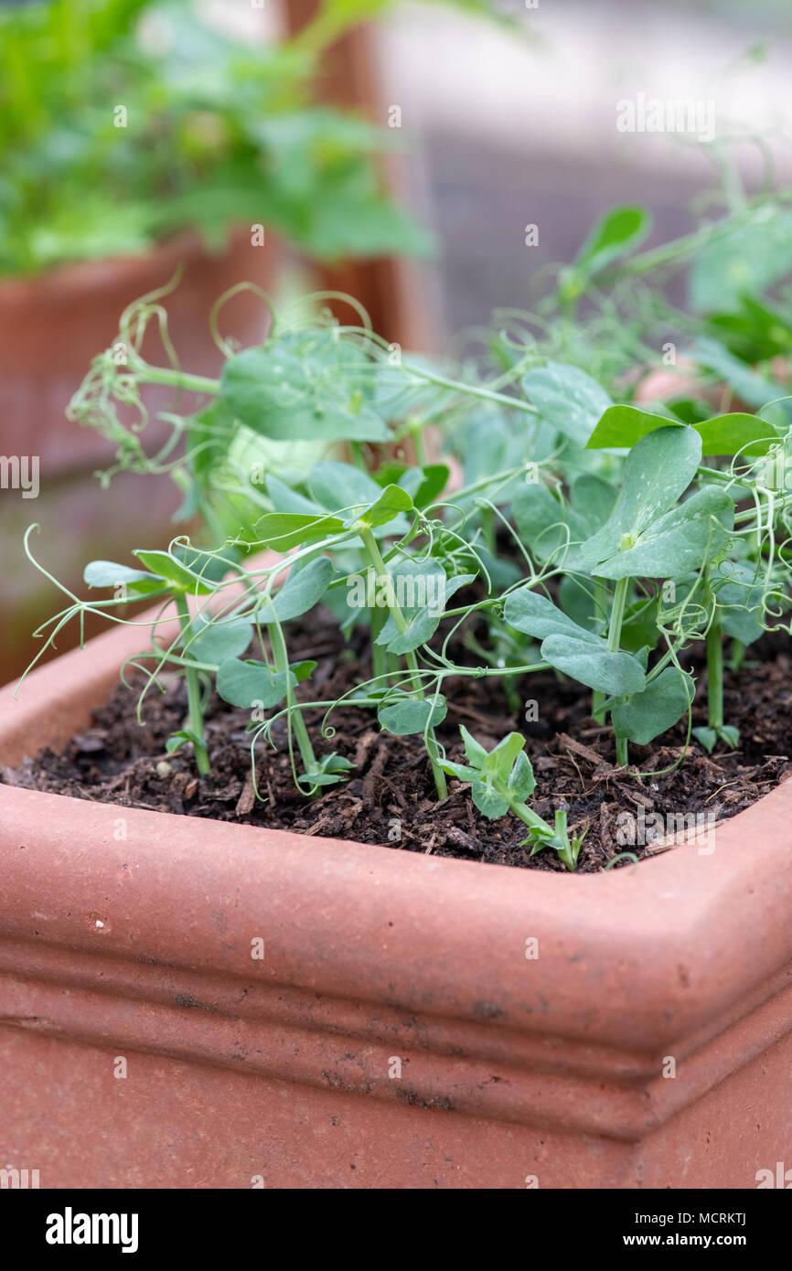 Pisum sativum. Salad Leaves Pea shoots 'Serge'growing in a plant pot inside a greenhouse. UK - Stock Image