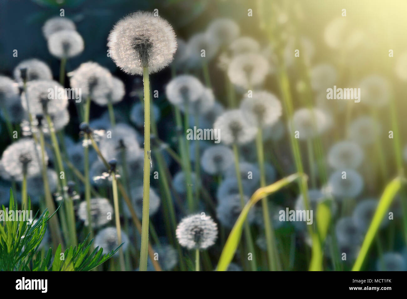 Romantic spring background a meadow of the white fluffy dandelion romantic spring background a meadow of the white fluffy dandelion flowers with seeds in morning sunlight twinkles selective focus mightylinksfo