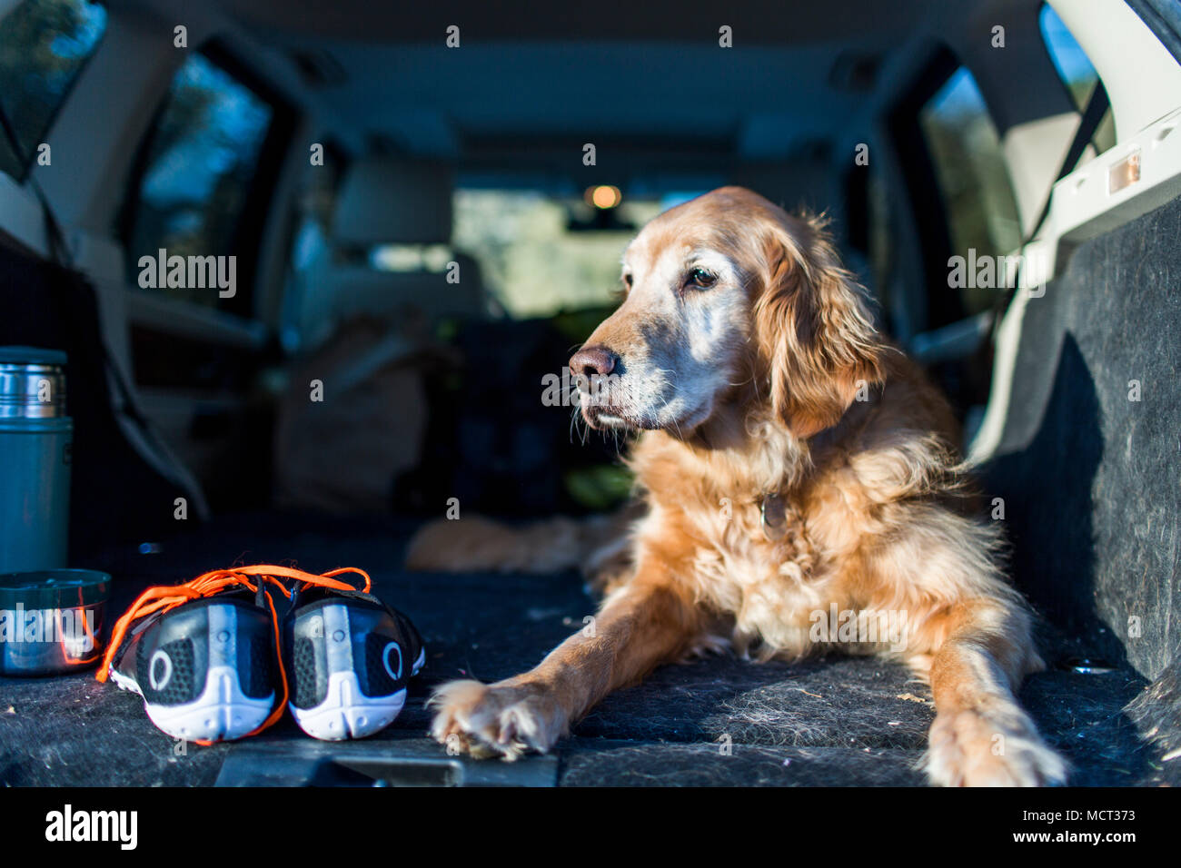 Dog sitting in car trunk - Stock Image