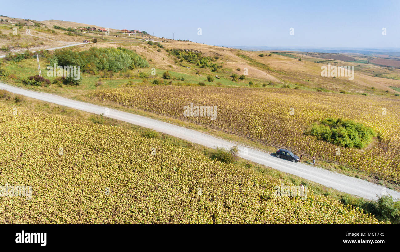 Aerial shot of sunflower field ready for harvest. Drone shot of mountain side with a ravine, forest-covered hill seen in the background - Stock Image