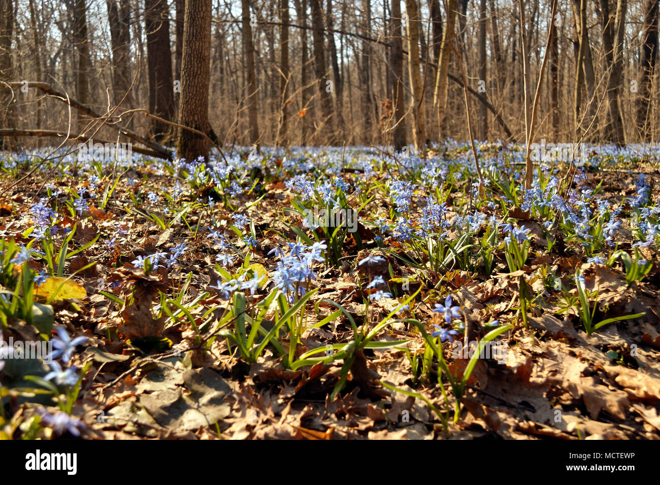 Flowering Of Small Blue Flowers Scilla In The Spring In A Forest