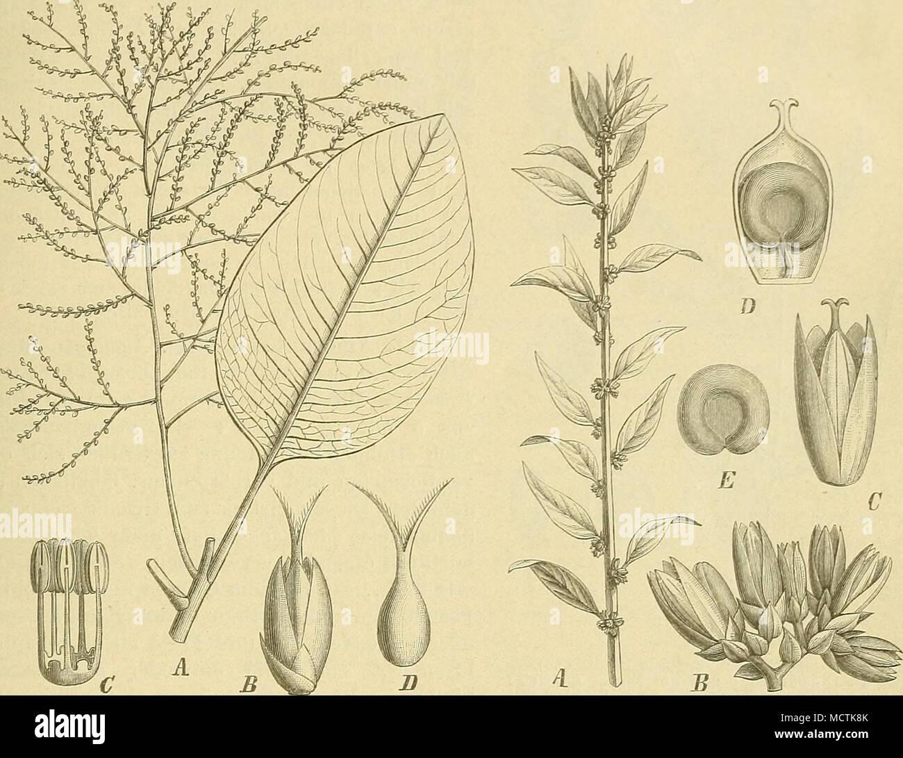 . Fig. 52. Charpentiera obovata Gaud. A Zweig; B Bl.; C Stb.; D Frkn. (Jfacli Gaudichaud.) Fig. 53. Banaliathyrsiflora(SRaX.)'Ho(i^. ^ Zweig; B Blutenstand; CBl.; D Längsschnitt durch, den Frkn.; E S. (Nach Senbert,) 8. Banalia Moq. B. der Blh. länglich, spitzlich, aufrecht, strohgelb und trocken. Stf. unterwärts zu einem Becher verwachsen, ohne sterile Zipfel. Frkn. eiförmig, mit mehr oder minder langem Gr. und 2—3 allseitig papillösen, pfriemlichen N. Fr. trocken- häutig, sich nicht öffnend. — Krautartige Pfl. mit gestielten, in eine Spitze ausgezogenen B. Bl. in achsel- oder endständigen,  - Stock Image