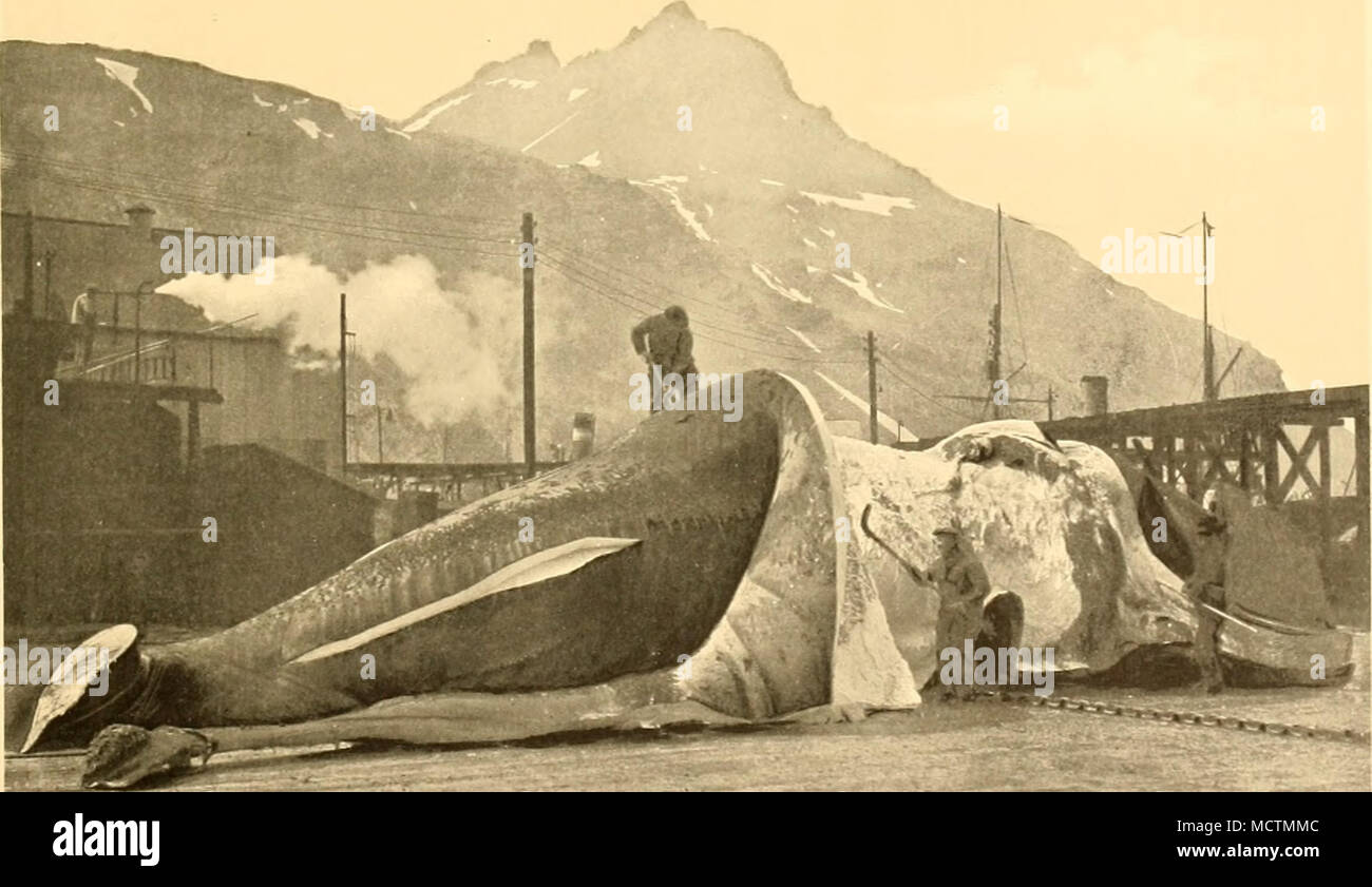 """. i. Curri:7W. I-'""""* l-imdcal THE SOUTHERN RIGHT WHALE - Stock Image"""