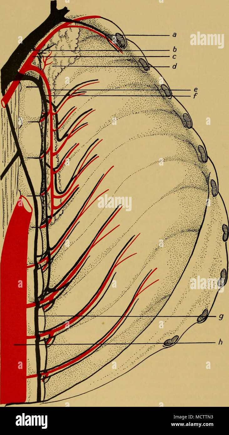 Fig 6 Arrangement Of The Intercostal Arteries And Veins A
