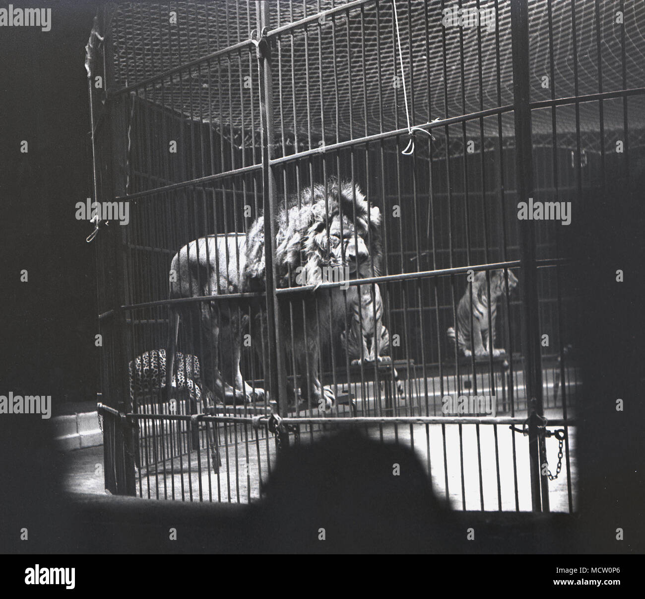 1950s, historical picture of a 'big cat', a lion standing on a stool inside the cage in the circus ring, at the Belle Vue International Circus, Manchester, England, UK. The circus was a poular attraction there in its day and ran for over 50 years.  Also at Belle Vue was a zoo and amusement park and a stadium which hosted speedway events. - Stock Image